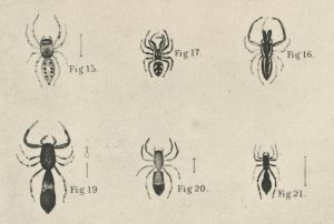 The Peckhamia picata spider (figure 21) resembles an ant.  (Graphic from wikimedia commons)